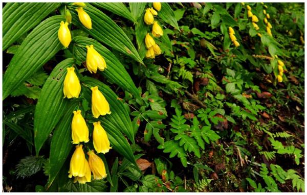 【六甲高山植物園】山里の貴婦人 「キイジョウロウホトトギス」が見頃を迎えました!