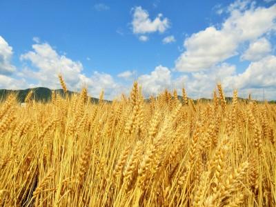 京小麦の収穫祭2020 令和2年1月20(月)から10週にわたって開催!