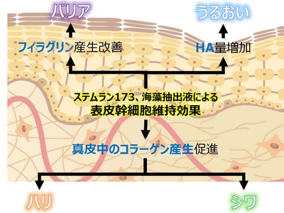 """資生堂、表皮幹細胞の維持が真皮コラーゲン線維の再生に寄与することを確認― """"肌の若返り""""に近づく有用成分に新たな効果を発見 ―"""