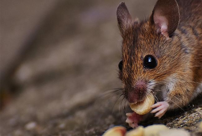 飲食店も使える! 無毒無害ネズミ取り 設置簡単、効果抜群!  春はネズミ駆除一番大事な時期です!!!