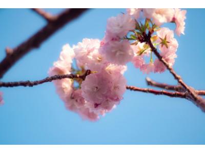 6月の桜 できなかった花見 居酒屋で