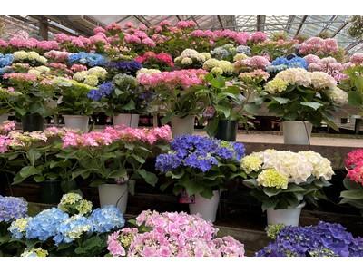 加茂荘花鳥園(静岡県掛川市)&富士花鳥園(静岡県富士宮市):KAMOセレクションのアジサイ展示販売を始めました