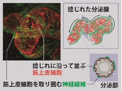 体温調節を担う汗腺の三次元構造の可視化に成功