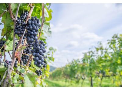 富士マリオットホテル山中湖 山梨ワインの魅力に触れる「丸藤葡萄酒工業」での1日限定ワイナリーツアー付き宿泊プラン「Discover Wines -2019 Summer-」を発売