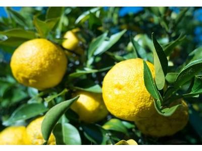 「日本一の柚子」木頭ゆずのフレグランスコスメブランド、kito junos。農薬不使用の柚子精油を使ったリフレッシュスプレー、ハンドジェルを新発売。