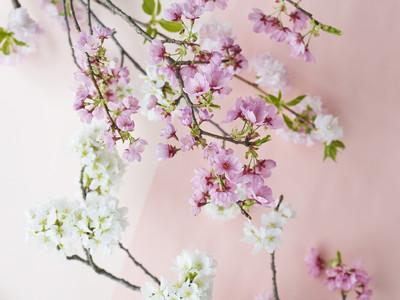 【青山フラワーマーケット】自宅のリビングで桜を飾ってお花見を。蕾から満開まで、花咲く様子を楽しもう